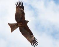 Räuberischer Vogel Lizenzfreie Stockbilder