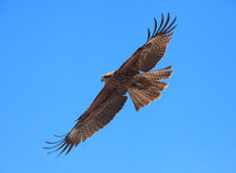Räuberischer Vogel Stockfotos