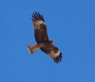 Räuberischer Vogel Lizenzfreies Stockfoto