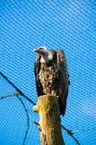 Räuberischer Vogel stockfotografie