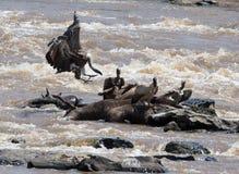 Räuberischer Vogel, der auf einem Felsen nahe dem Fluss sitzt kenia tanzania safari März 2009 Lizenzfreies Stockfoto