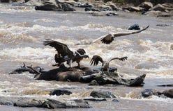 Räuberischer Vogel, der auf einem Felsen nahe dem Fluss sitzt kenia tanzania safari März 2009 Lizenzfreie Stockfotos