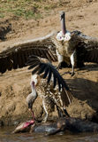 Räuberischer Vogel, der auf einem Felsen nahe dem Fluss sitzt kenia tanzania safari März 2009 Stockfotos