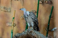 Räuberischer Vogel gyps in der Gefangenschaft lizenzfreies stockfoto