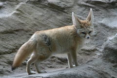 räv för 2 fennec Arkivfoto