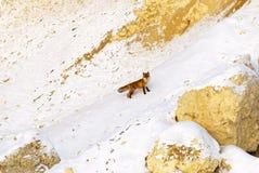 Räv i vinter Arkivfoton