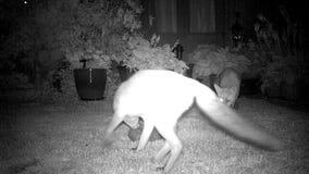 Räv och hedghoggs i stads- husträdgård stock video
