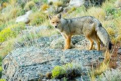 räv patagonian Arkivbild