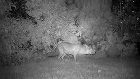 Räv som matar i stads- husträdgård på natten lager videofilmer