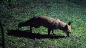 Räv som matar i stads- husträdgård på natten exponerad av säkerhetsljus arkivfilmer