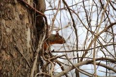 Rävekorre som når en höjdpunkt runt om träd fotografering för bildbyråer