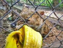 Räven äter också bananen! arkivfoto