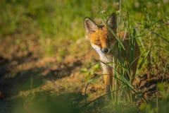 Räven behandla som ett barn Royaltyfria Foton