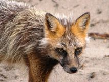 Räven går på Fotografering för Bildbyråer
