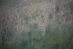Rävsvansar för löst gräs i en äng royaltyfri fotografi