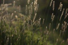 Rävsvansar som glöder i solen nära en sjö arkivfoton