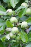 Rå äpplen på en filial Arkivbilder