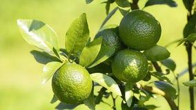 Rå apelsin på träd i trädgårds- växt
