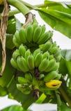 rå bananer Fotografering för Bildbyråer