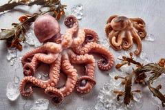 Rå bläckfisk med brunalg och smältande is royaltyfri bild