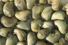 rå cashewmuttrar fotografering för bildbyråer