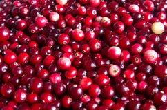 Rå cranberry fotografering för bildbyråer
