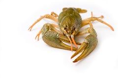 rå crawfish Arkivfoto
