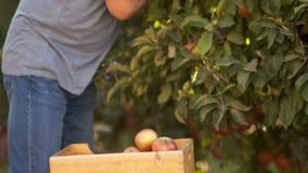 Rå foods som väljer ny frukt i trädgården Närbilden händer river mogna äpplen från ett träd och satte dem i en träask stock video