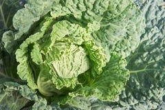 Rå grön grönkål Royaltyfria Foton