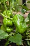 Rå grön organisk peppar med sidor royaltyfri fotografi