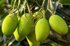 Rå gröna mango royaltyfria foton