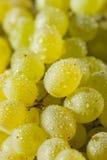 Rå gröna organiska Champagne Grapes Arkivfoton