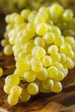 Rå gröna organiska Champagne Grapes Arkivbilder