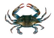Rå isolerad illustration för blå krabba Fotografering för Bildbyråer