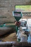 Rå kaffebönor som sorteras Royaltyfri Bild