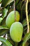 rå mango Fotografering för Bildbyråer