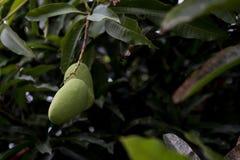 Rå mango på trädet Arkivbilder