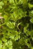 Rå organisk fransk persiljakörvel Royaltyfri Fotografi