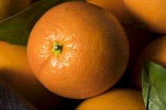 Rå organiska orange apelsiner Royaltyfria Bilder