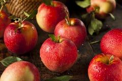 Rå organiska röda Gala Apples royaltyfria bilder