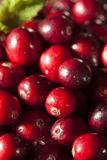 Rå organiska röda tranbär Arkivfoton