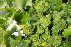 Rå organiska rovagräsplaner ordnar till för att äta på en vit träbakgrund, slut upp arkivbild