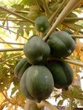 rå papaya Royaltyfri Fotografi