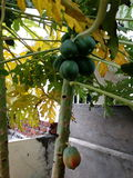 rå papaya Arkivfoton