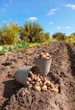 Rå potatis på fältet Arkivbild