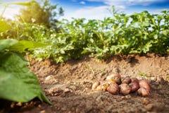 Rå potatis på trädgårdjordning royaltyfri fotografi