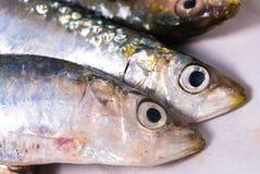 rå sardines Arkivfoton