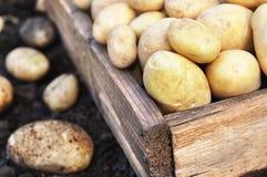 Rå skördade potatisar i träspjällådan, jordbakgrund royaltyfri bild