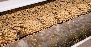 Rå sortering för kaffeböna och bearbeta i en fabrik arkivfoton