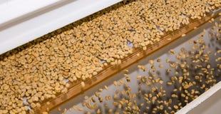 Rå sortering för kaffeböna och bearbeta i en fabrik royaltyfri bild